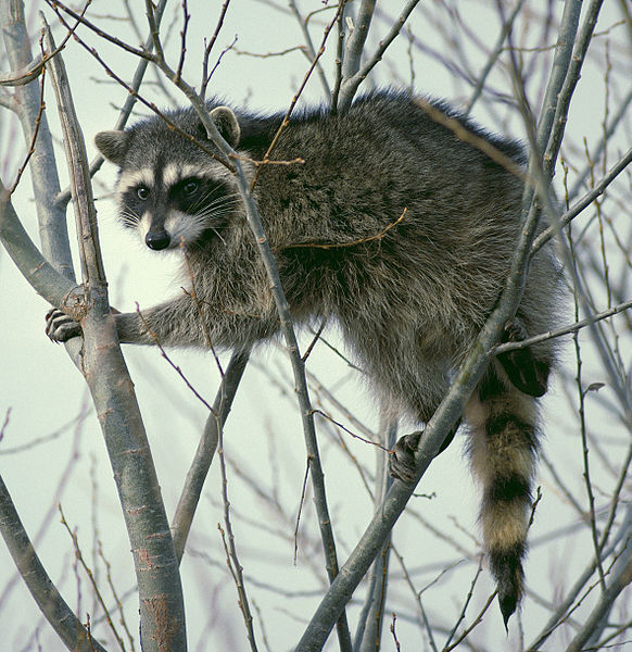 582px-Raccoon_climbing_in_tree_-_Cropped_and_color_corrected